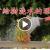 不常给树浇水的理由(视频)
